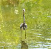 Tricolored heron — Stok fotoğraf