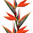 Bird of paradise flowers — Stock Photo #11565956