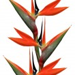 Stock Photo: Bird of paradise flowers