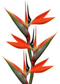 Bird of paradise flowers — Stock Photo
