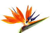 Bird of paradise flower — Foto Stock