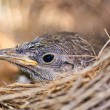 Bird in nest — Stock Photo