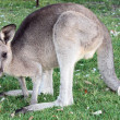 Kangaroo — Stock Photo #11720864