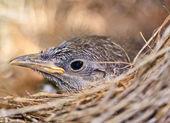 Bird in nest — Stock Photo