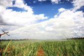 Sugar cane — Photo