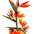 Bird of paradise flower in pot — Stock Photo