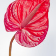 Red flamingo plant — Stock Photo