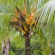 Stock Photo: Cocos nucifera' coconut tree dwarf