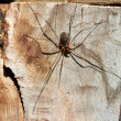 Stock Photo: Large spider