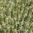Cactus background — Stock Photo