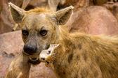 Hyena and it's quarry — Stock Photo