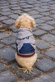Well dressed dog — Stock Photo