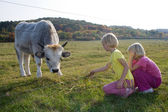 Calf feeding — Stock Photo