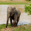 Asian elephant leaving a water hole - Stock Photo