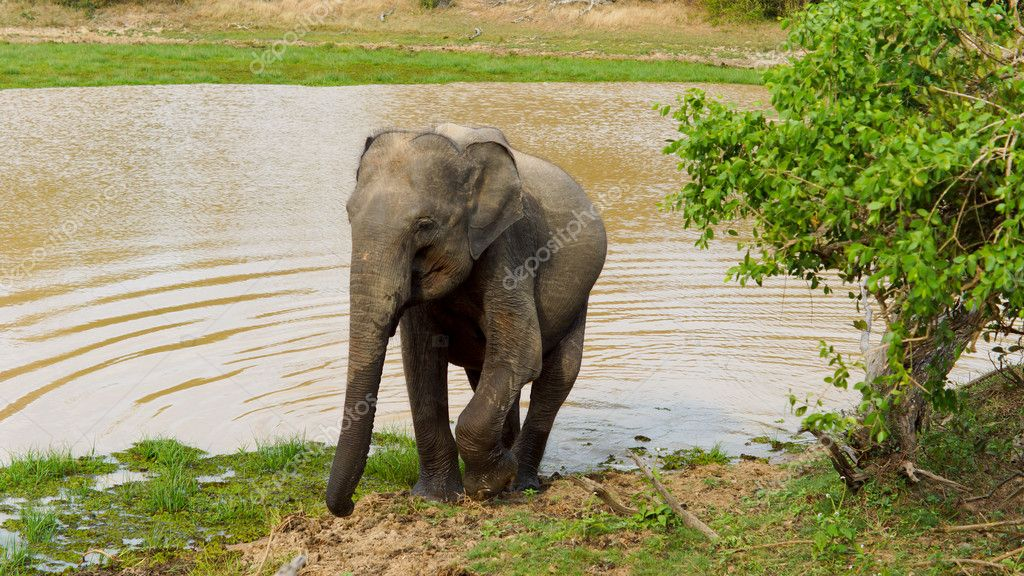 Aduly Asian elephant leaving a water hole after taking a drink with ripples fanninf out behind it — Stock Photo #11748590