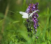 Zomer dans van vlinders — Stockfoto