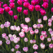 Rosy tulips — Stock Photo