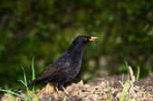 Starling or blackbird — Stock Photo