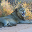 Stock Photo: Lion growling