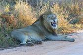 Lion growling — Stock Photo