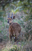Bushbuck — Stock Photo
