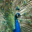 Stock Photo: Peacock displaying its feathers