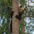 Brown bear climbing in Finland forest - Stock Photo