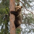 Stock Photo: Brown bear climbing in Finland forest