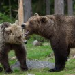 Brown bears in Finland forest - Stock Photo