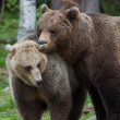 Brown bear love in Finland forest - Stock Photo