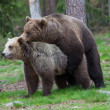 Brown bears mating in Finland forest - Stock Photo