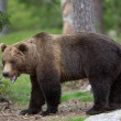 Stock Photo: Brown bear in Finland forest