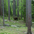 Brown bear in Finland forest - Stock Photo