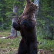 Brown bear scratching in Finland forest - Stock Photo