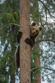 Brown bear climbing in Finland forest — Stock Photo