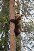 Brown bear climbing in Finland forest — Stok fotoğraf