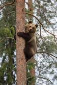 Brun björn klättring i finland skog — Stockfoto