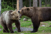 Brown bears in Finland forest — Stock Photo