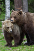 Brown bear love in Finland forest — Stock Photo