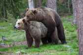 Brown bears mating in Finland forest — Stock Photo