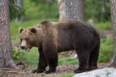 Brown bear in Finland forest — Stock Photo