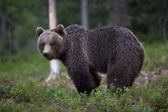 Brown bear in Finland forest — Foto de Stock