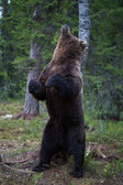 Brown bear scratching in Finland forest — Stock Photo