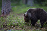 Baby cub Brown bear in Finland forest — Stock Photo