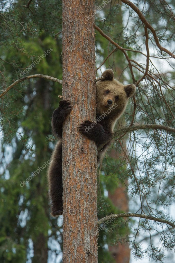 A high resolution image of brown bear in a Finnish Tiaga forest — Stock Photo #11736554