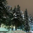 Christmas trees covered in snow - Stock Photo
