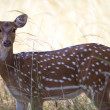 Foto Stock: Spotted deer