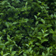 Stock Photo: Shrub leaves