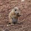 Stock Photo: Baby Marmot (Prairie dog, gopher) eating straw