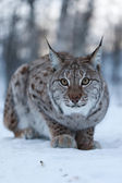 Lynx in the snow — Stok fotoğraf